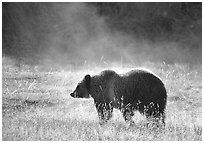 Grizzly bear and thermal steam. Yellowstone National Park ( black and white)