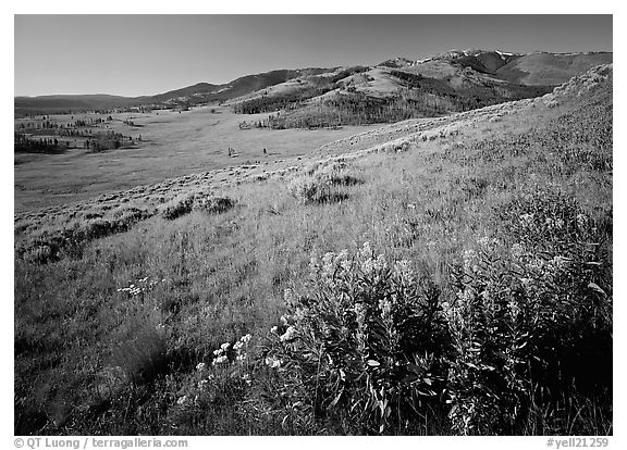 Yellow flowers and Mt Washburn, early morning. Yellowstone National Park (black and white)