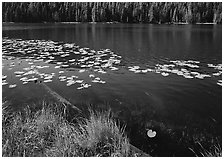 Water lilies and pond. Yellowstone National Park ( black and white)