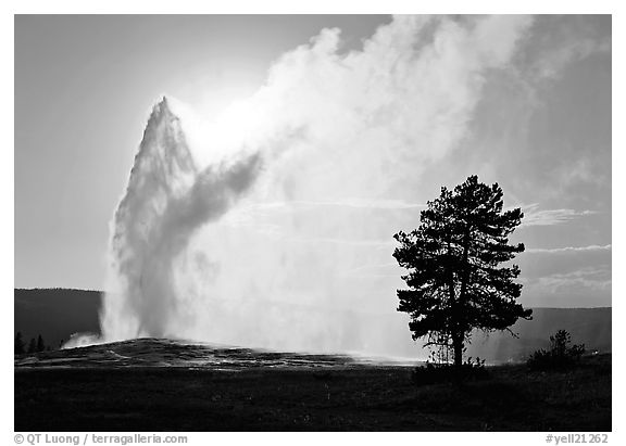 Old Faithful Geyser and tree backlit in afternoon. Yellowstone National Park (black and white)
