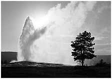 Old Faithful Geyser and tree backlit in afternoon. Yellowstone National Park, Wyoming, USA. (black and white)