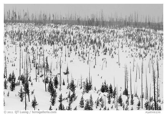 Lewis Canyon slopes with burned forest, winter. Yellowstone National Park (black and white)