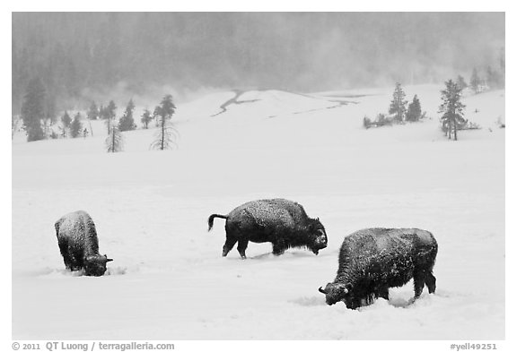 Snow-covered bison in winter. Yellowstone National Park (black and white)