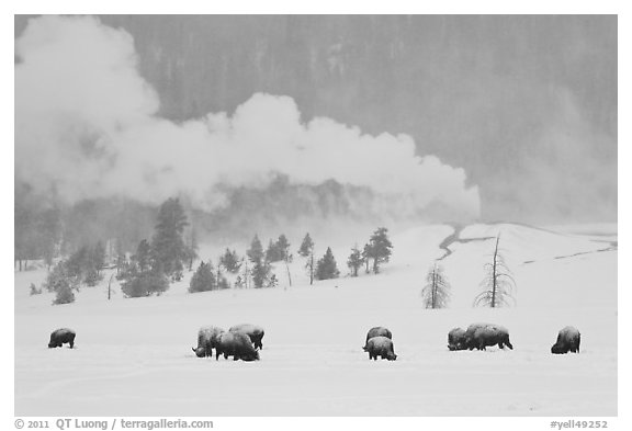 Bison and Lion Geyser in winter. Yellowstone National Park (black and white)