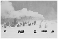 Bison and Lion Geyser in winter. Yellowstone National Park, Wyoming, USA. (black and white)