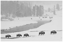 Bison moving in single file next to Firehole river, winter. Yellowstone National Park, Wyoming, USA. (black and white)