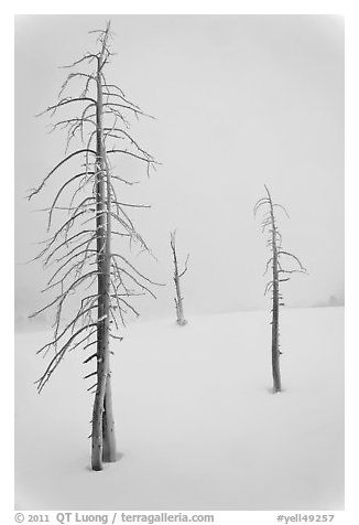 Tree skeletons in winter. Yellowstone National Park (black and white)