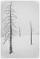 Tree skeletons in winter. Yellowstone National Park ( black and white)
