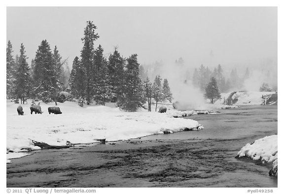 Firehole river and bison in winter. Yellowstone National Park (black and white)