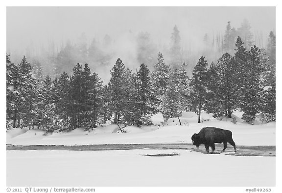 Bison following warm stream in winter. Yellowstone National Park (black and white)