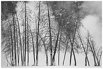 Bare trees and steam in winter. Yellowstone National Park, Wyoming, USA. (black and white)