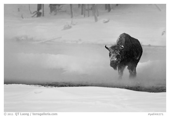 Bison crossing Firehole River in winter. Yellowstone National Park (black and white)
