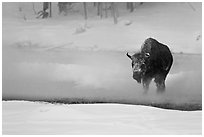Bison crossing Firehole River in winter. Yellowstone National Park, Wyoming, USA. (black and white)