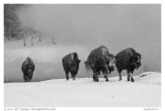Group of buffaloes crossing river in winter. Yellowstone National Park (black and white)