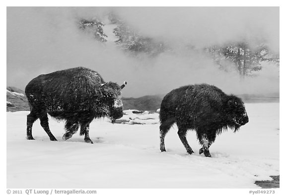 Two American bisons in winter. Yellowstone National Park (black and white)