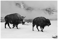 Two American bisons in winter. Yellowstone National Park, Wyoming, USA. (black and white)