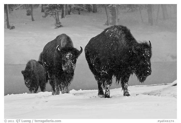 Bisons with snowy faces. Yellowstone National Park (black and white)