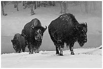 Bisons with snowy faces. Yellowstone National Park, Wyoming, USA. (black and white)