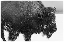 Close view of american buffalo in winter. Yellowstone National Park ( black and white)