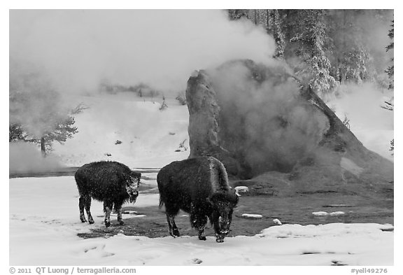Bisons and geyser cone, winter. Yellowstone National Park (black and white)