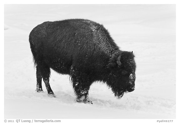 American bison in winter. Yellowstone National Park (black and white)