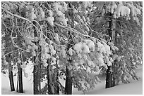 Snow-covered branches. Yellowstone National Park ( black and white)