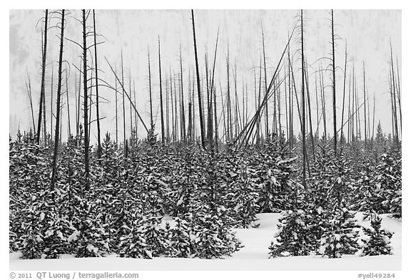 Sapplings and burned trees in winter. Yellowstone National Park (black and white)