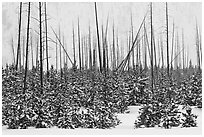 Sapplings and burned trees in winter. Yellowstone National Park ( black and white)