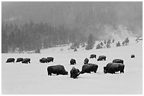 Herd of buffaloes during snow storm. Yellowstone National Park ( black and white)