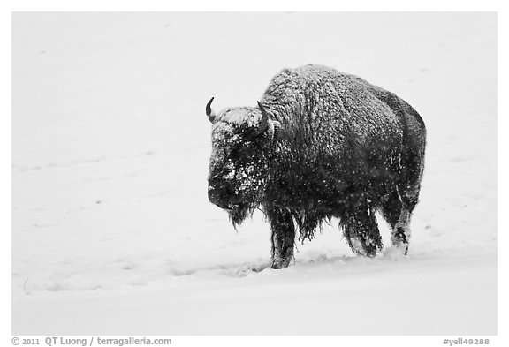 Snow-covered bison walking. Yellowstone National Park (black and white)