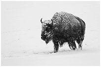 Snow-covered bison walking. Yellowstone National Park, Wyoming, USA. (black and white)