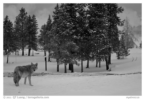 Coyote in winter. Yellowstone National Park (black and white)