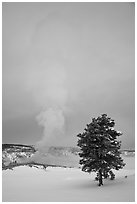 Pine tree and Old Faithful geyser in winter. Yellowstone National Park, Wyoming, USA. (black and white)