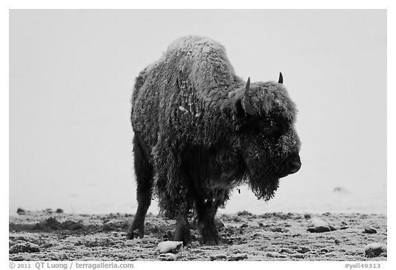 Snow-covered buffalo standing on warmer ground. Yellowstone National Park (black and white)