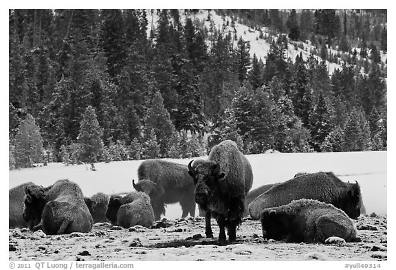 Bison herd on a warmer patch in winter. Yellowstone National Park (black and white)