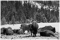 Bison herd on a warmer patch in winter. Yellowstone National Park, Wyoming, USA. (black and white)