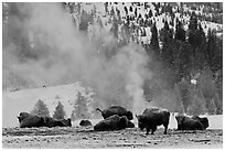 Bisons with thermal plume behind in winter. Yellowstone National Park, Wyoming, USA. (black and white)