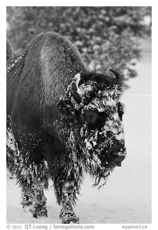 American bison with snow sticking on face. Yellowstone National Park (black and white)