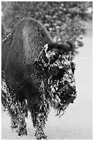 American bison with snow sticking on face. Yellowstone National Park, Wyoming, USA. (black and white)