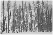 Forest in snow storm. Yellowstone National Park ( black and white)
