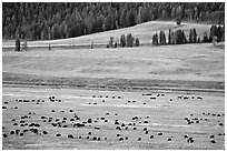 Buffalo herd in Lamar Valley, dawn. Yellowstone National Park, Wyoming, USA. (black and white)