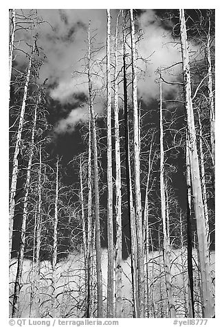 Burned forest and clouds. Yellowstone National Park (black and white)