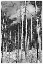 Burned forest and clouds. Yellowstone National Park ( black and white)