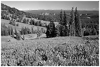 Lupines at Dunraven Pass, Grand Canyon of the Yellowstone in the background. Yellowstone National Park, Wyoming, USA. (black and white)