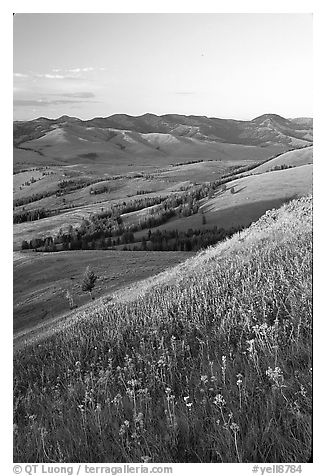 Grasses and flowers on Specimen ridge, sunset. Yellowstone National Park (black and white)
