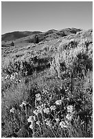 Flowers and Mt Washburn, sunrise. Yellowstone National Park ( black and white)