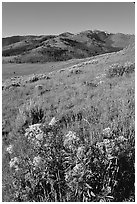 Yellow flowers on slope below Mt Washburn, early morning. Yellowstone National Park, Wyoming, USA. (black and white)