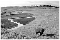 Bison and creek, Hayden Valley. Yellowstone National Park ( black and white)