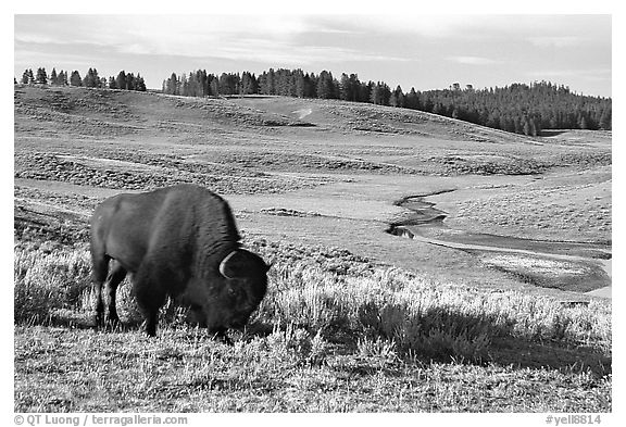Buffalo, Hayden Valley. Yellowstone National Park (black and white)