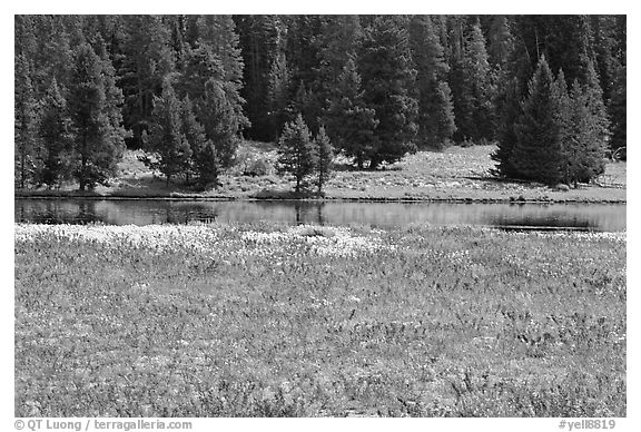 Purple flowers and pine trees. Yellowstone National Park (black and white)